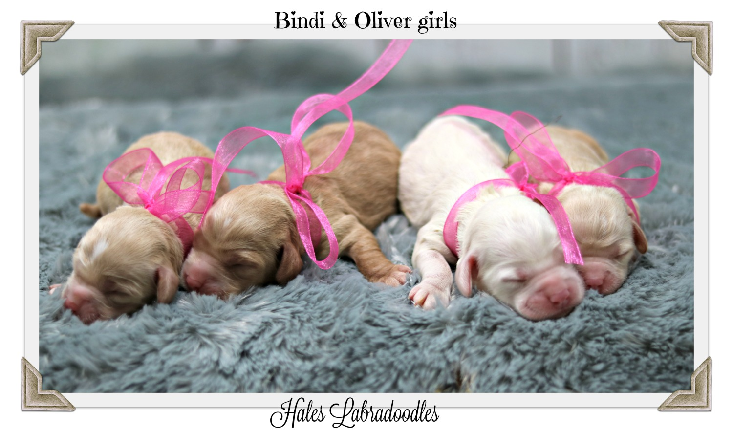 Mini Australian Labradoodle puppies