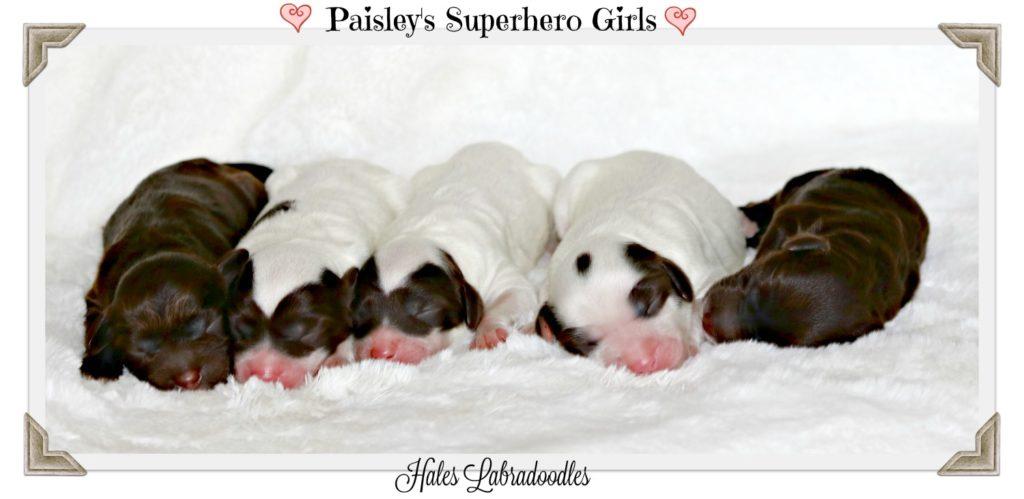 Australian Labradoodle Puppies